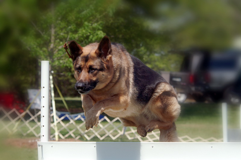 Dog Agility Training: Fountain Inn, SC | Dog Trainers Workshop - BenaHighJump
